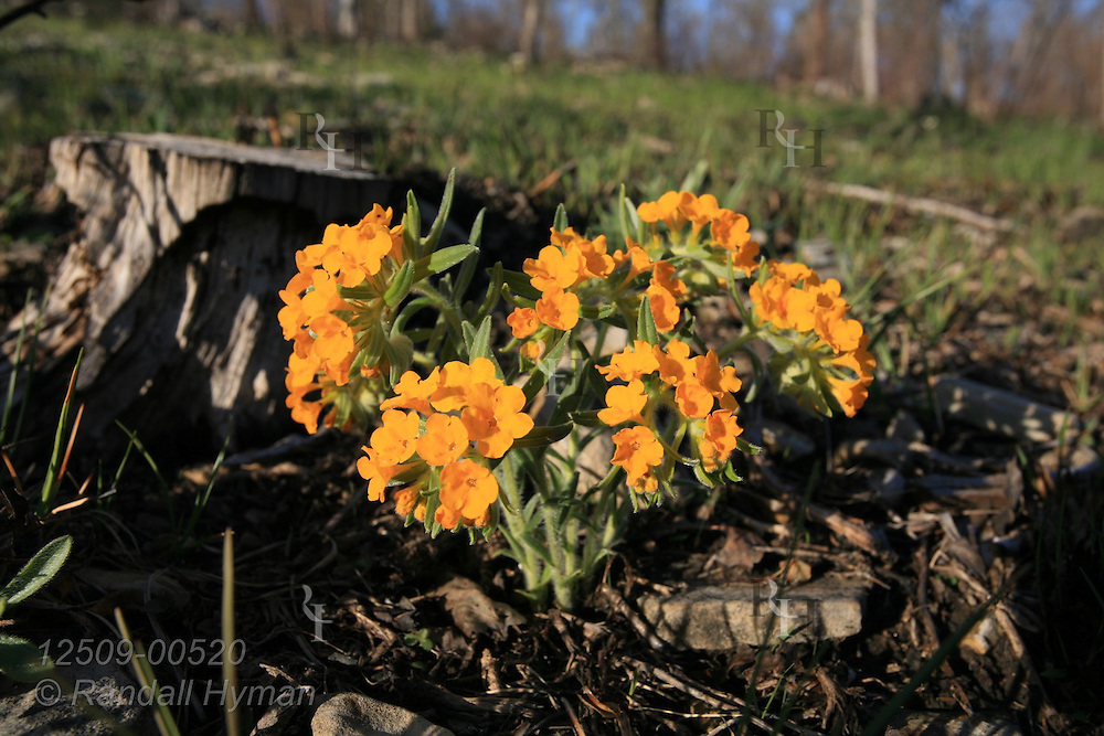 Hairy puccoon, aka Carolina puccoon (Lithospermum caroliniense), blossoms in April in glade after a prescribed burn at Missouri Botanical Garden's Shaw Nature Reserve in Gray Summit, Missouri.