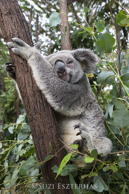 Koala <br /> Phascolarctos cinereus<br /> Queensland, Australia<br /> *Captive