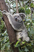 Koala <br /> Phascolarctos cinereus<br /> Queensland, Australia<br /> *Captive