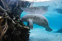 Florida manatee, Trichechus manatus latirostris, a subspecies of the West Indian manatee, endangered. A male manatee rubs its snout on submerged tree parts. This behavior could be investigation, or it could be scraping of certain root covers for a snack as there is little to eat near the freshwater springs. Horizontal orientation with blue water and reflection. Three Sisters Springs, Crystal River National Wildlife Refuge, Kings Bay, Crystal River, Citrus County, Florida USA.