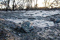 Angulate tortoise killed in runaway fire caused by throwing of a cigarette, Bredasdorp, Western Cape, South Africa