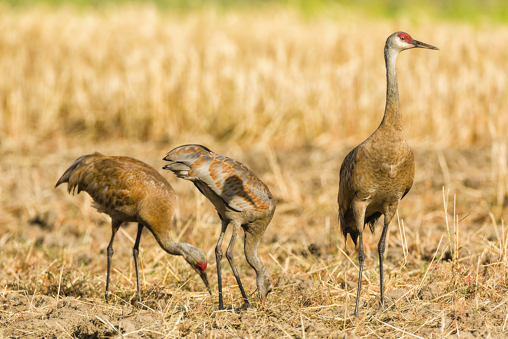 Male Sandhill Crane (Grus canadensis) watches for danger while the female and juvenile forage at Creamer's Field Migratory Waterfowl Refuge in Fairbanks in Interior Alaska. Summer. Afternoon.