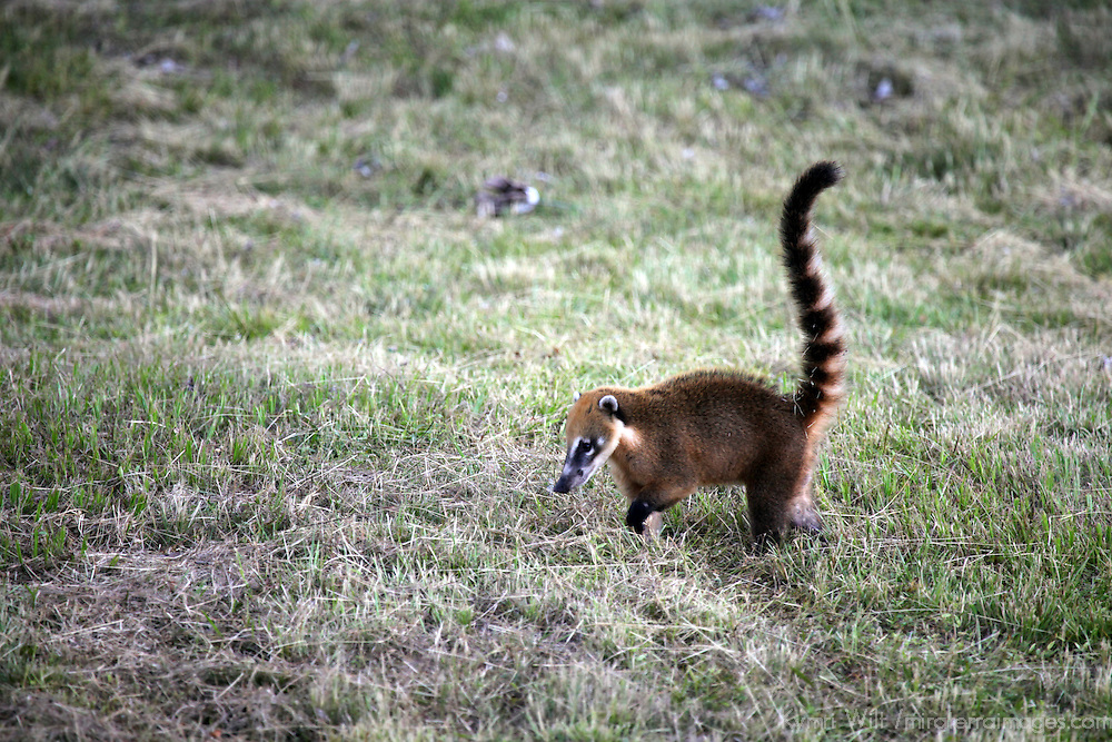 South America, Brazil, Pantanal. The Ring Tailed Coati forages in the grasslands of the Pantanal.