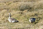 Greylags - Greylag Geese, Anser anser, grazing in marshland in North Norfolk, UK