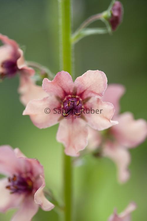Verbascum hybridum 'Southern Charm' - mullein