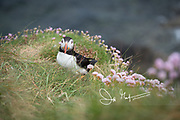 An Atlantic puffin stands amidst grass and sea pink (Armeria maritima) along the seaside cliffs of Staffa island, Scotland.