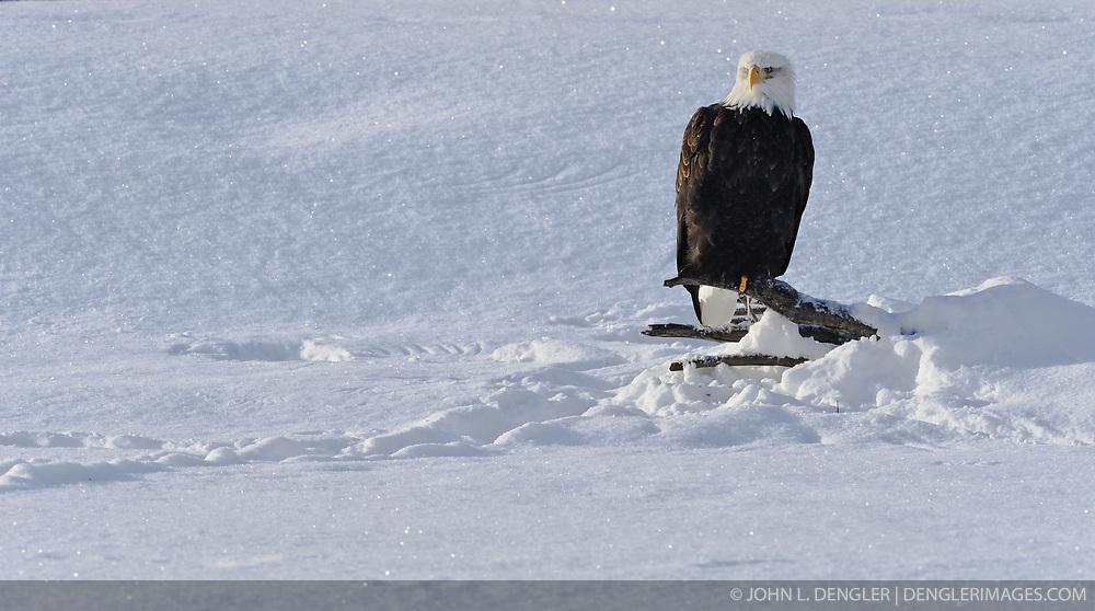 A bald eagle (Haliaeetus leucocephalus) sits on a log on the bank of the Chilkat River in the Alaska Chilkat Bald Eagle Preserve near Haines, Alaska.