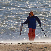 A Fisherman walks along a sand blown beach unhooks a small striped bass.