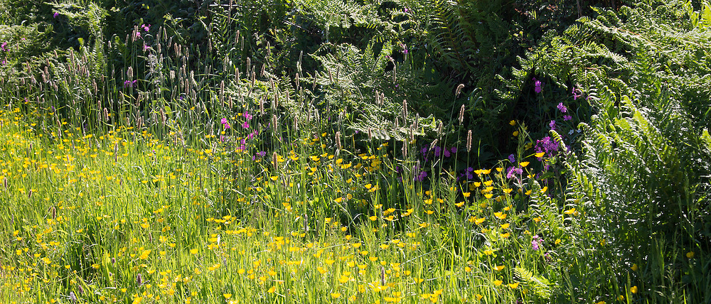 Traditional flowering hedgerow wildlife habitat in summertime in Cornwall, Southern England, UK