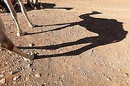 Shadow of a dromedary (camel).
