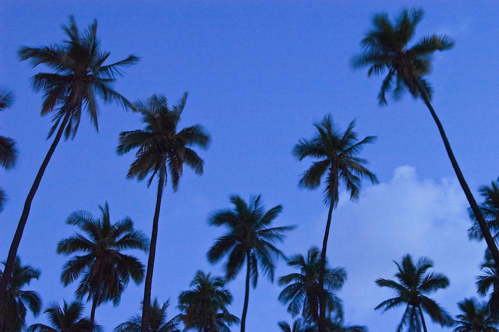 Coconut palm trees at dusk; Kapuaiwa Royal Coconut Grove, Kaunakakai, Molokai, Hawaii.