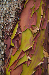Madrona (Arbutus menziesii) Bark Detail, Jones Island State Park, San Juan Islands, Washington, US