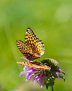 Fritillary butterflies feeding on horsemint blossom that is diminished as it completes the pollination cycle, Jemez Mountains, NM. © 2010 David A. Ponton