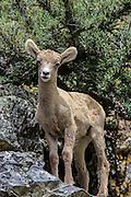 Bighorn Lambs in Rocky Mountain Habitat