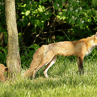 A mother red fox enjoys a spring afternoon with her young kits near a subdivision in southern Fayette County in Lexington, Ky., on April 25, 2012. Photo by David Stephenson