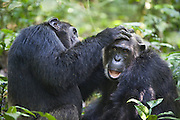 Chimpanzee<br /> Males grooming<br /> Tropical forest, Western Uganda