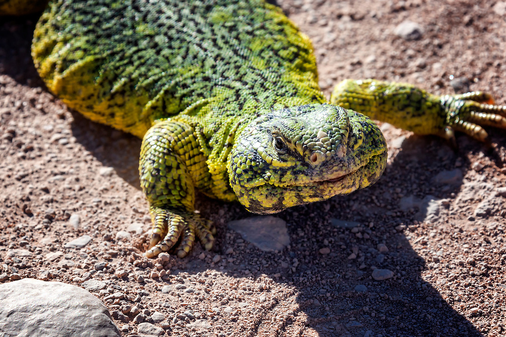 Yellow-green lizard (lacertilia) in the Sahara desert, Morocco.
