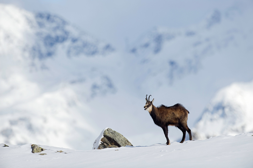 01.11.2008.Chamois (Rupicapra rupicapra) in alpine landscape. Rutting behaviour..Gran Paradiso National Park, Italy