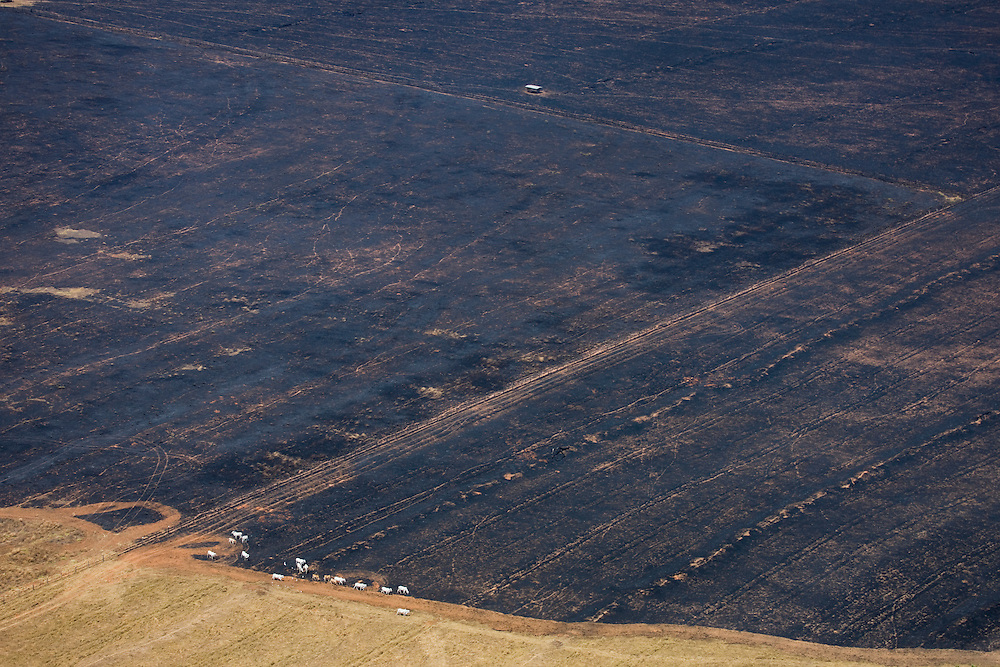 Cattle on freshly burnt grazeland on a ranch in Mato Grosso, Brazil, August 7, 2008. Daniel Beltra/Greenpeace