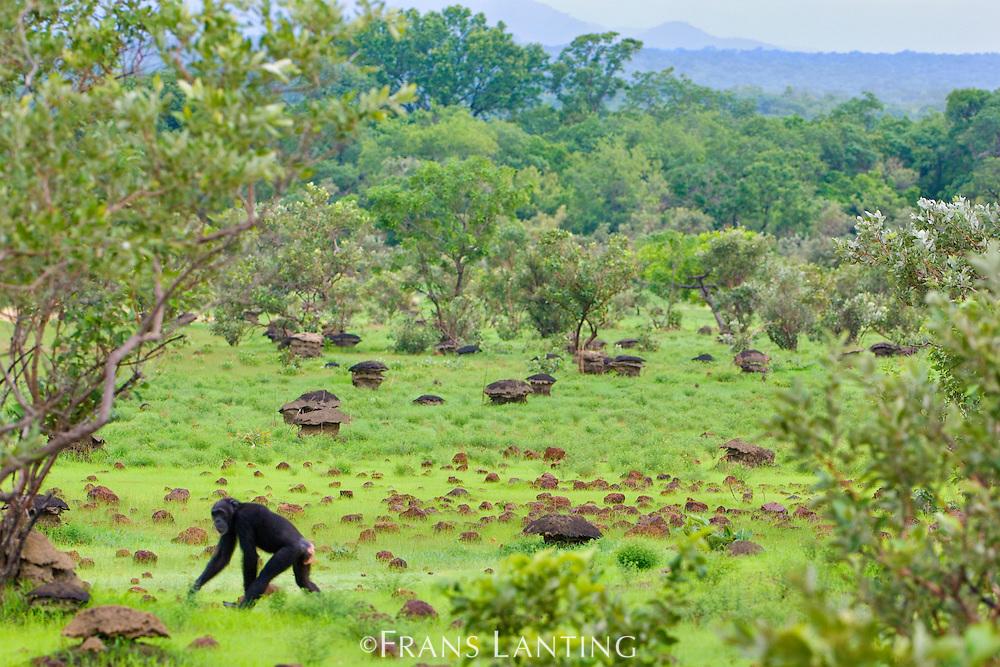 Chimpanzee crossing savanna, Pan troglodytes verus, Fongoli, Senegal