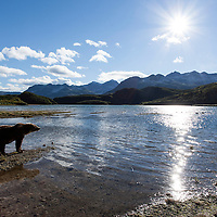 USA, Alaska, Katmai National Park, Wide angle view of Coastal Brown Bear (Ursus arctos) fishing along salmon spawning stream by Kinak Bay