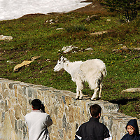 people with mountain goat