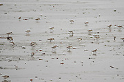 Western sandpipers feed along the beach at the McNeil River State Game Sanctuary on the Cook Inlet, Alaska. The remote site is accessed only with a special permit and is the world's largest seasonal population of brown bears in their natural environment.