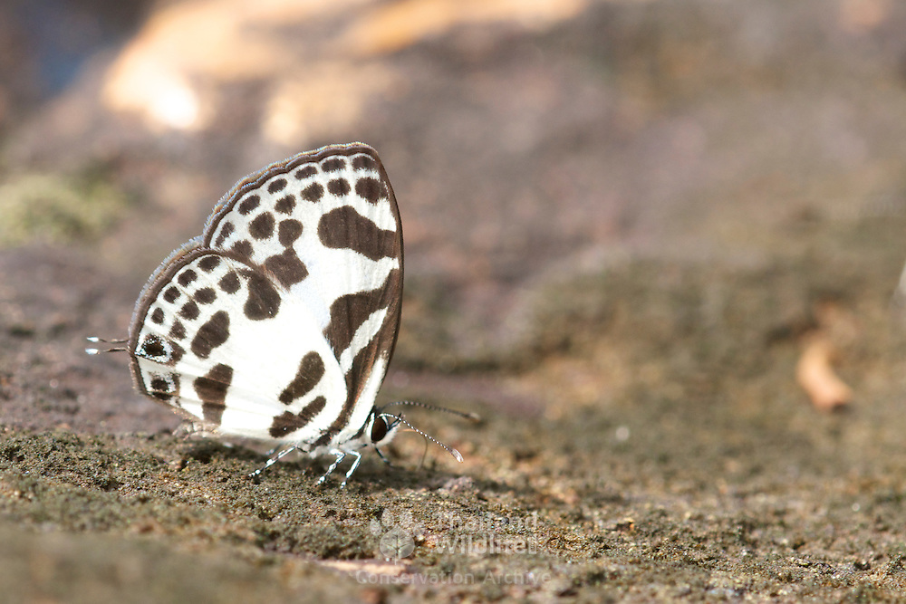 The Banded Blue Pierrot Butterfly, Discolampa ethion thalimar in Pang Sdia National Park, Thailand.