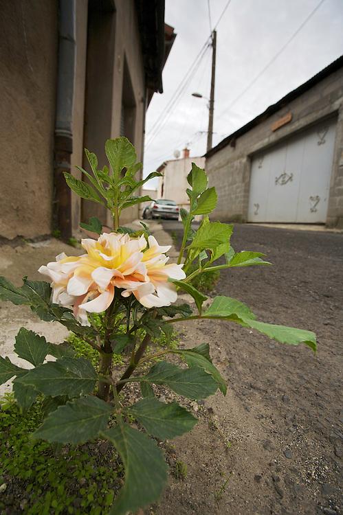 "Dahlia (Dahlia spec. cultivar ""Figaro"") growing in a street of Pont-du-Chateau, Auvergne, France."
