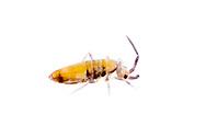 Springtail (Entomobrya clitellaria)<br /> TEXAS: Bexar/Guadalupe County line<br /> rural property on Cibolo Creek<br /> 29.45749&deg; -98.12862&deg;<br /> 20-Oct-2012<br /> J.C. Abbott #2628 &amp; K.K. Abbott