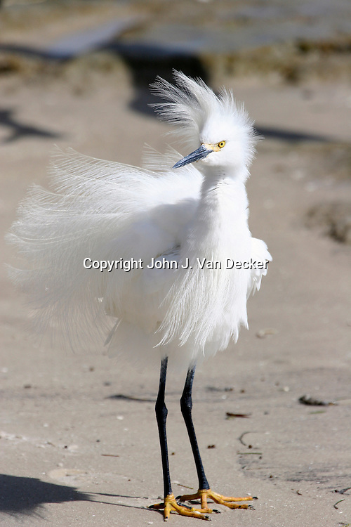 Snowy Egret in breeding plumage looking left