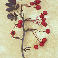 Stem of Hawthorn or May or Crataegus monogyna lying with its red berries and two autumnal leaves on antique paper