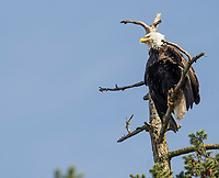 Bald Eagle (Haliaeetus leucocephalus) perched in tree, Orlebar Point, Gabriola Island , British Columbia, Canada
