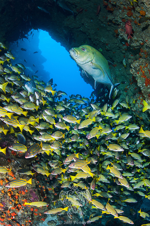 "A large Black Jack and hundreds of Snappers cruise in and out under a natural ""swim through"".<br /> <br /> <br /> Shot at Cocos Island, Costa Rica"