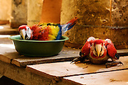 Two young scarlet macaws waiting to be fed in the lab in the Maya Biosphere Reserve, Guatemala.