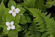 Although this flower is a species of dogwood, it is a ground dwelling species, often  forming mats of growth.  It is often found in cool, moist forests.