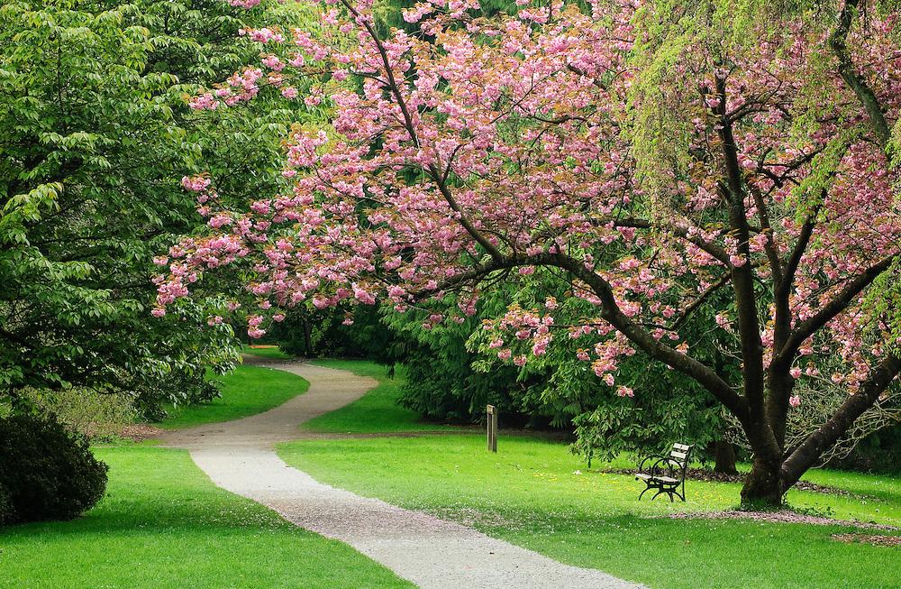 Cherry tree on Azalea Way in Washington Park Arboretum; Seattle, Washington.