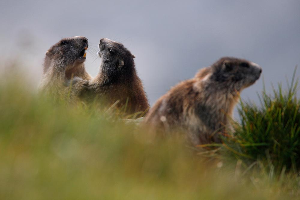 Alpine Marmot (Marmota marmota) wrestling, Hohe Tauern National Park, Carinthia, Austria