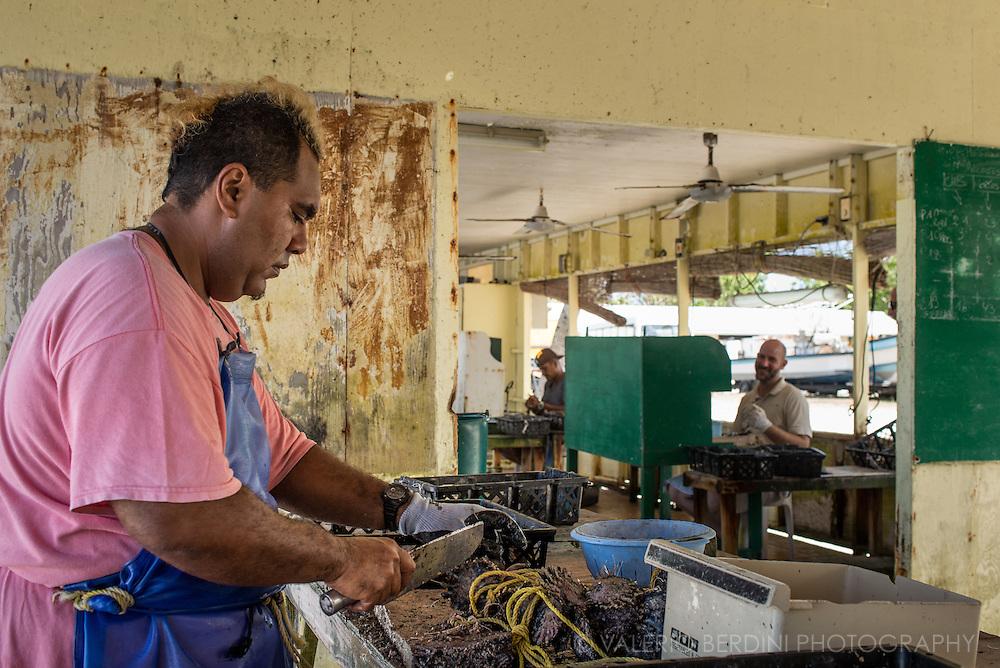 A worker opens the oysters to allow the operation that will generate a pearl. Black pearls cultivation is a key part of Tahitian economy and culture. Despite the decline in value due to an overabundance of the production, Tahitian black pearl still are a favourites tourists' souvenir and get exported for fine jewellery all around the world.