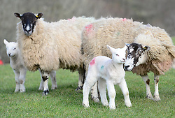 © Licensed to London News Pictures. 11/03/2016. Sedbergh, UK. Lams with their mothers in the spring sunshine near Sedbergh, Cumbria. Photo credit : Anna Gowthorpe/LNP
