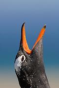 Eselspinguin (Pygoscelis papua) | Gentoo Penguin (Pygoscelis papua) [size of single organism: 75 cm]