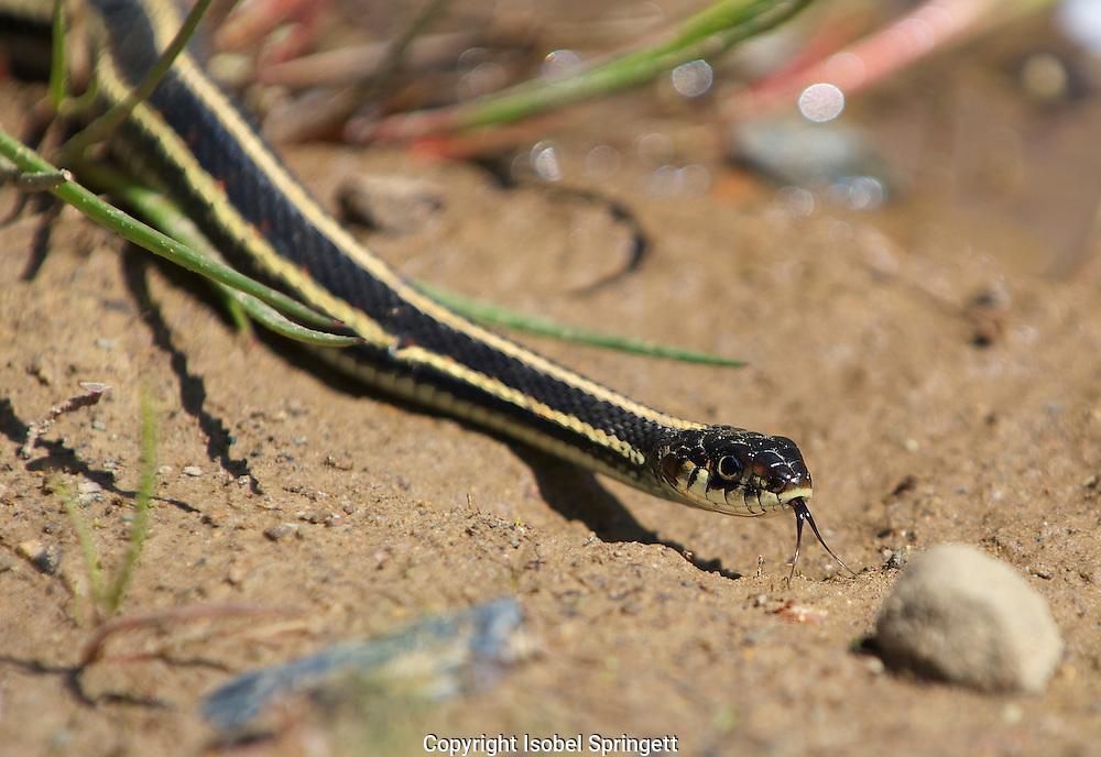 Common Garter Snake. Thamnophis sirtalis, Courtenay, British Columbia, canada,