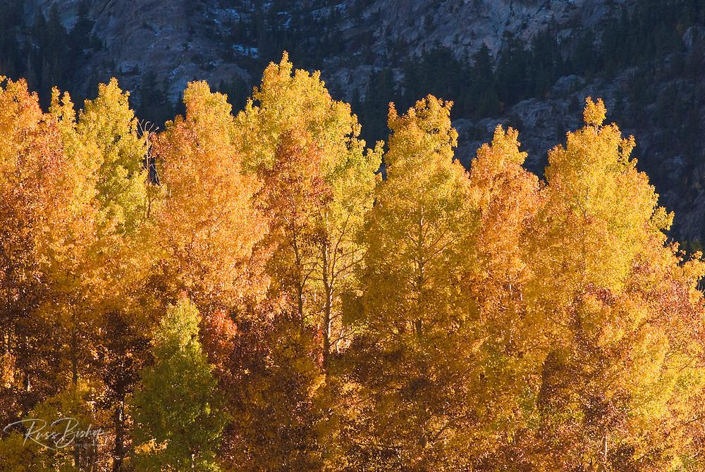 Golden fall aspens along Rush Creek, Inyo National Forest, Sierra Nevada Mountains, California