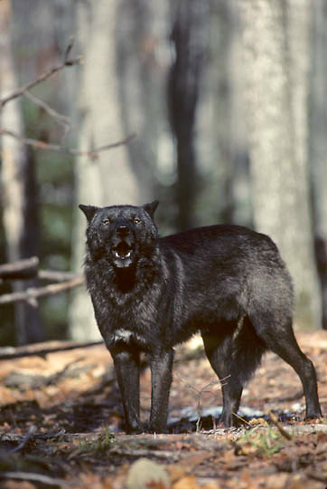 Gray Wolf, (Canis lupus) Lone black colored wolf standing in timber. Late fall. Michigan. Captive Animal.
