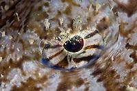 Monkfish, Lophius piscotorius, eye, Lofoten, Norway,