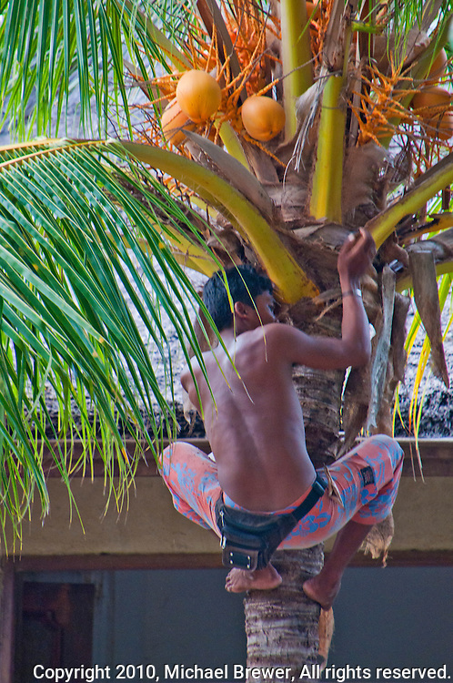 Boy climbing up a coconut tree in Amed, Bali, Indonesia