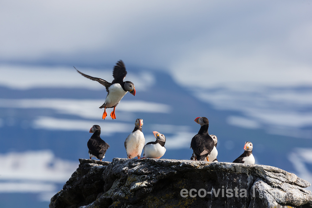 An Atlantic puffin (Fratercula arctica) comes in to land on the top of a rock amongst other puffins resting near the breeding colony. Vigur Island, Isafjardardjup, Iceland. July.