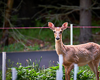Young doe wondering why I am looking at her. Backyard spring nature in New Jersey. Image taken with a Fuji X-T2 camera and 100-400 mm OIS lens (ISO 200, 400 mm, f/6.4, 1/18 sec).