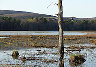 Mamakating, New York - A standing dead tree in the water at the Bashakill Wildlife Management Area on April 11, 2010.