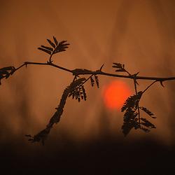 Ramo e folhas de uma acácia ao por-do-sol no Lobito. Província de Benguela. Angola